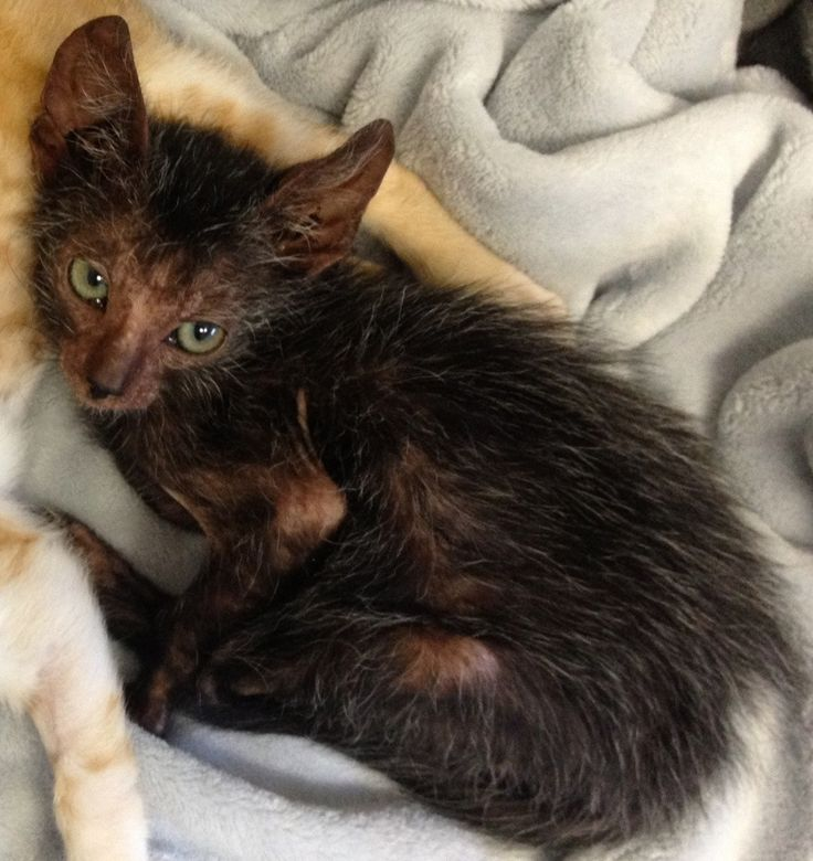 """Stray Cat Gives Birth To Extremely Rare 'Werewolf' Turns out, Eyona was born with an extremely rare mutation which makes him a different kind of cat — a newly recognized breed called Lykoi, or """"Werewolf"""" cats. TEARS consulted veterinarian Dr. Johnny Gobble, who specializes in this breed. He confirmed that little Eyona represents the 35th known natural occurrence of this mutation worldwide. Since 2010, after the mutation was first identified, Lykoi cats have been bred to produce more Lykoi…"""