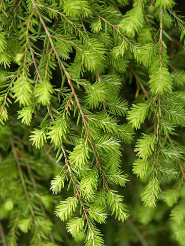 Canadian hemlock forms handsome hedges and screens and is for Specimen evergreen trees small