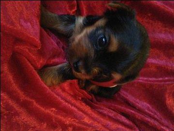 Yorkshire Terrier puppy for sale in CARSON, CA. ADN-20998 on PuppyFinder.com Gender: Female. Age: 8 Weeks Old