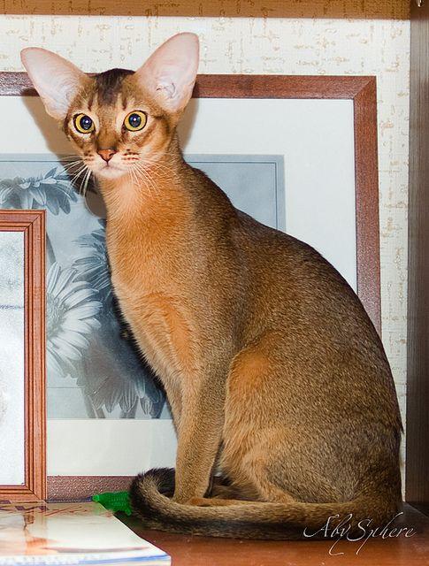 Abyssinian cat Bjork by Abysphere, via Flickr