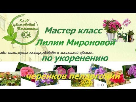 Мастер класс Лилии Мироновой по обрезке и укоренению черенков пеларгоний