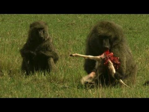 vs gazelle gazelle monkey monkey vs animal fights attacking wild ... | 480 x 360 jpeg 26kB