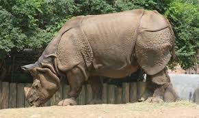 Sumatran rhinoceros - Google Search