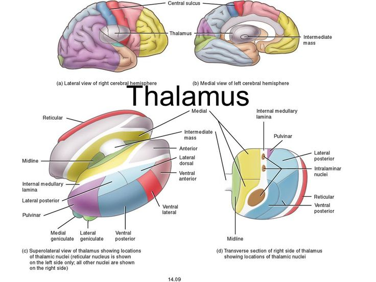 diagram of the brain thalamus gallery how to guide and Body Diagram BA K Uper Body Diagram Human