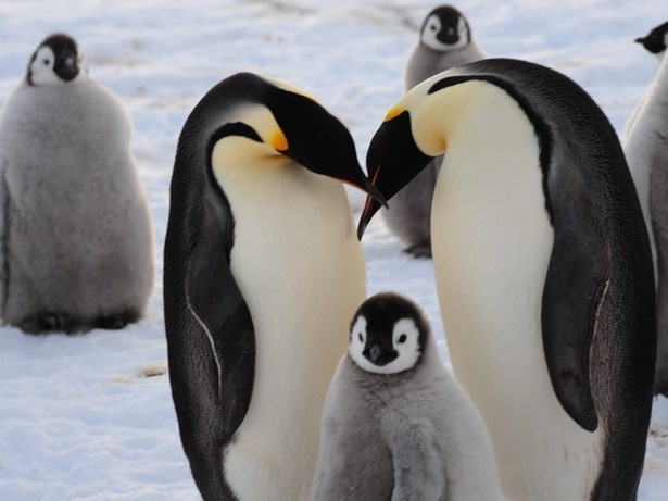 Satellite Images of Penguin Guano From Space Lead to Discovery of 9,000 Penguins in Antarctica (including these)