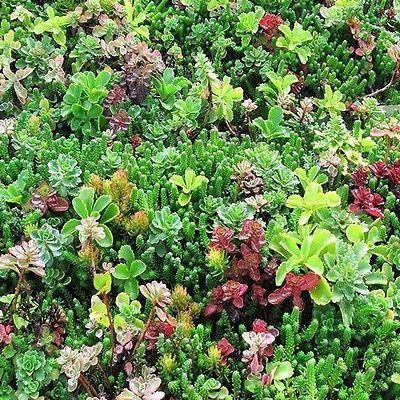 roof planting serene sun house | Sedum Mix Succulent Seeds (Roof Garden Mix) 100+Seeds ...