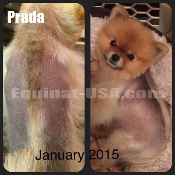 Pomeranian Alopecia