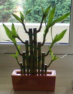 Lucky Bamboo Plant- I have 2 of these in my dorm room :)