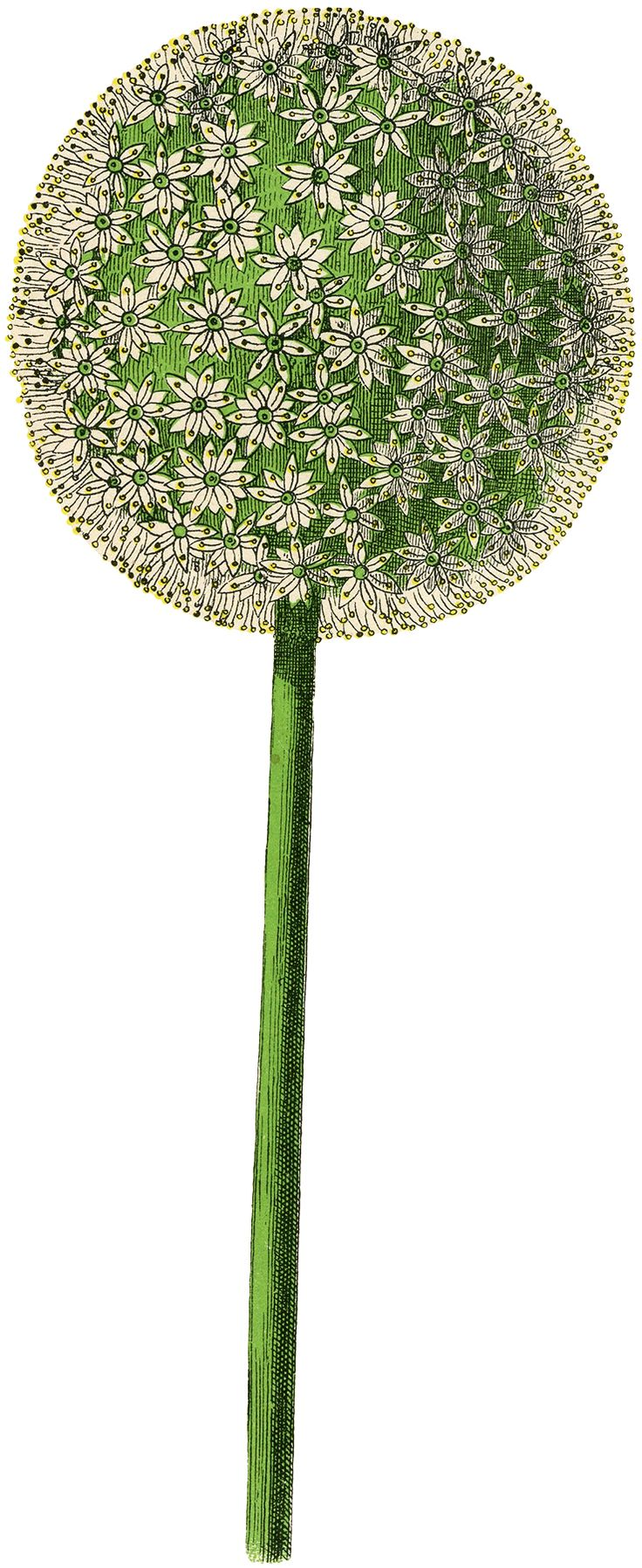 Charming Vintage Allium Flower Image! - The Graphics Fairy