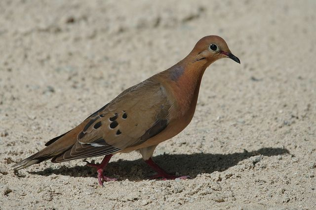 zenaida dove - photo #45