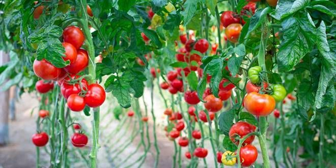 Καλλιέργεια ντομάτας, σπορά, φύτευση, λίπανση, συγκομιδή, οδηγίες