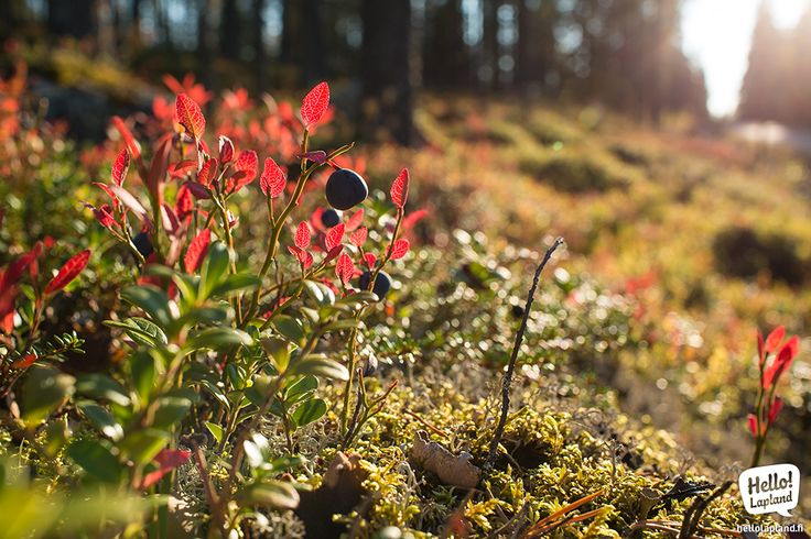 Autumn 2013 is the warmest on our memory! 15th of September you can still find some blueberries in the forest!