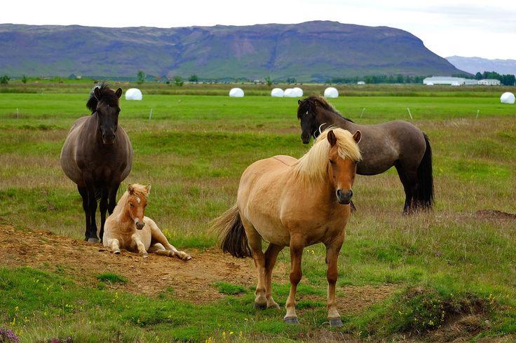 caballos, pony, islandés, familia, campo, prado, valle, montaña, 1701041650