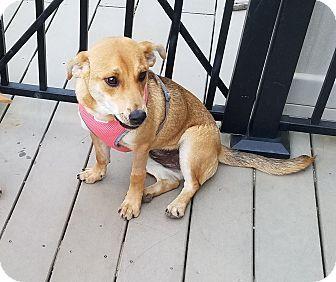 Sharon, CT - Corgi/Chihuahua Mix. Meet Maya, a puppy for adoption. http://www.adoptapet.com/pet/18227591-sharon-connecticut-corgi-mix