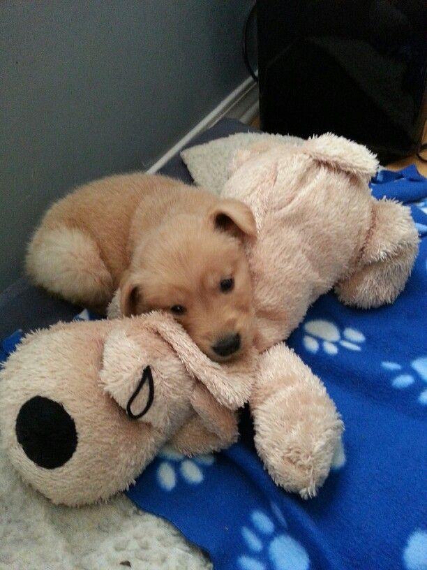 Hunter #golden retriever puppy