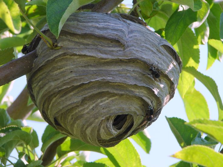 The enclosed nest of the bald-faced hornet Copyright © 2009 Jim Cane - All Rights Reserved