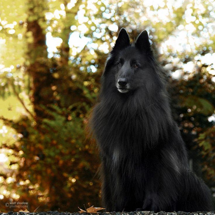 Belgian Shepherd - Groenendael