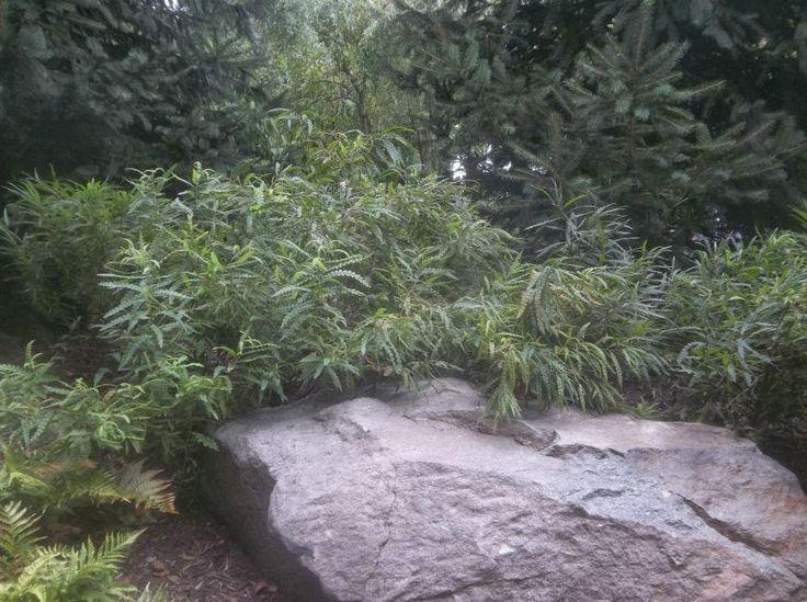 Future Plants by Randy Stewart: Comptonia peregrina ( Sweet Fern )