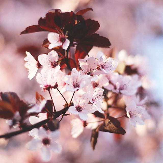🌸💗💕 #spring #springiscoming #springishere #blossom #nature #naturelover #naturephotography #naturelovers #naturegram #followforfollow #like4like #follow4follow #likeforlike #vsco #vscocam #mik #instadaily #instagood #instanature #photography #flowers #flowerpower #magnolia #topnature #topnaturephoto