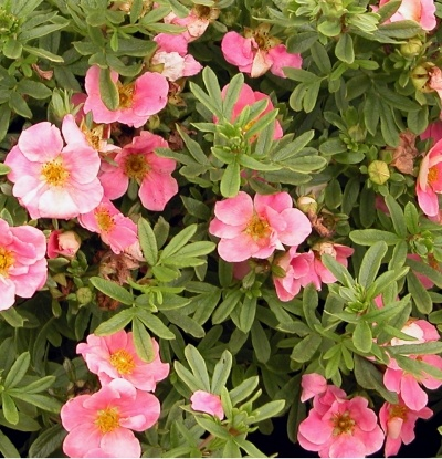 93 best Potentilla images on Pinterest Flowers Norway and Ants