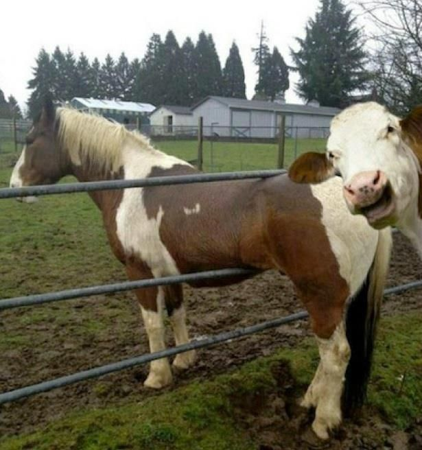 Dont know what's funnier, the cow photobombing a horse or the fact that the horse is stuck in the fence