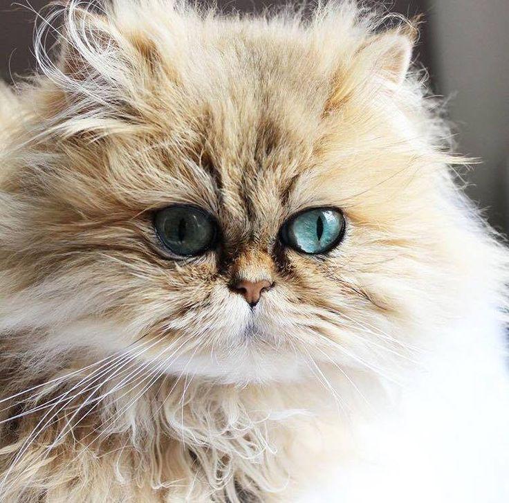 les 25 meilleures id es de la cat gorie chatons persans sur pinterest chats persans chatons. Black Bedroom Furniture Sets. Home Design Ideas