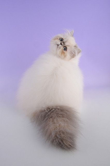 """Himalayan Cat"" by Woozles on flickr. So fluffy and beautiful! And she senses our ooohs and aahhs :)"