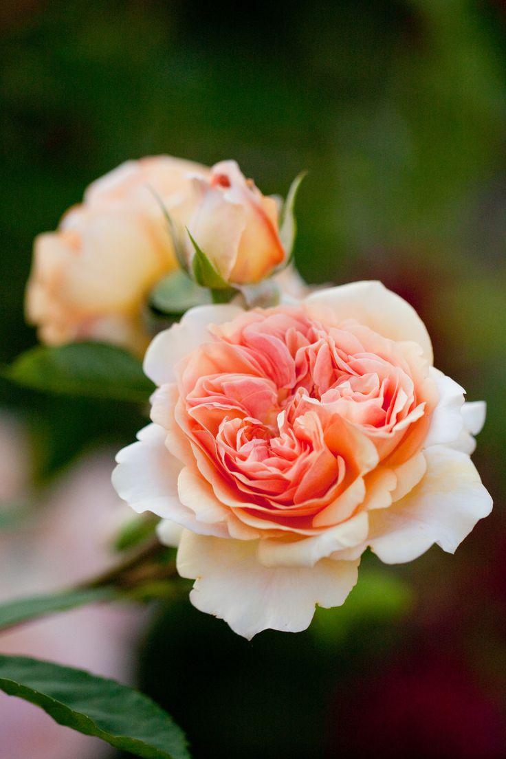 les 166 meilleures images propos de jardin roses. Black Bedroom Furniture Sets. Home Design Ideas
