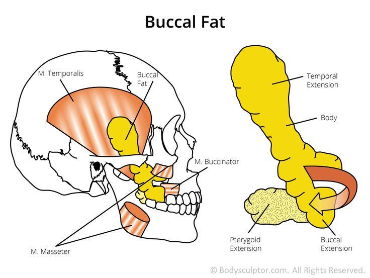 a2aaa4d614e9f98612d0617aae576716--plastic-surgery-anatomy.jpg