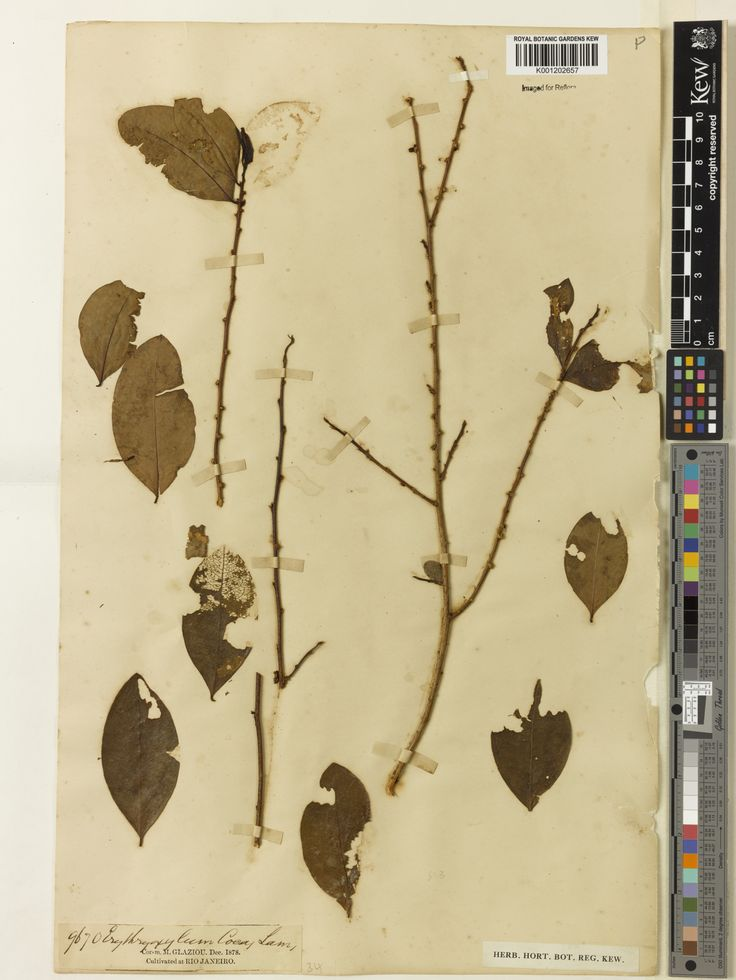 Specimen	K001202657  Current name	Erythroxylum coca  Collector & no:	Glaziou, A.F.M.       9670