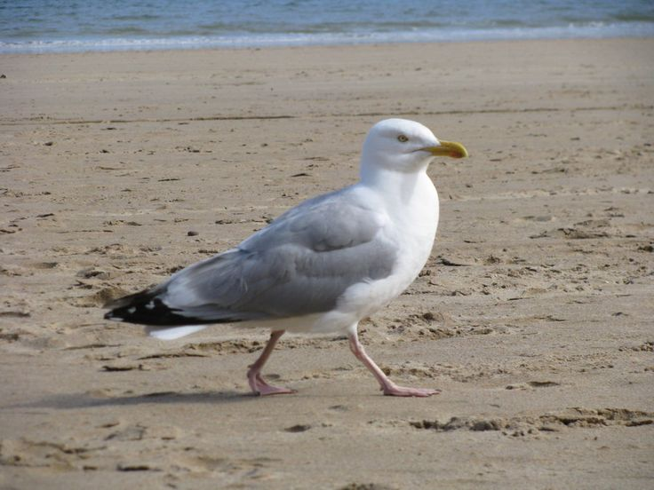 Seagull. Joe calls them flying rodents/the rodents of the ocean, but I love them.