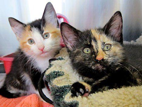 Calico kedileri (üç renkli kediler) neden dişi olur?