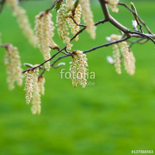 Blütenkätzchen einer Hainbuche, Pollenflug im Frühling, Carpinus betulus, Heuschnupfen, Textfreiraum
