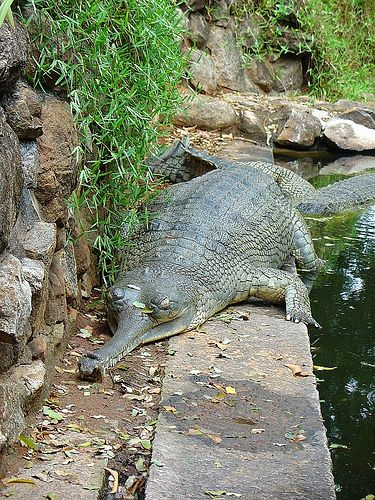 Most Unusual Crocodiles - The Gharial - India