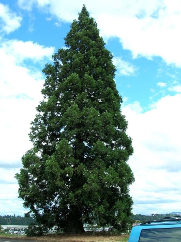 Giant Sequoia, Sequoiadendron giganteum, Tree 30 Seeds (Fast, Evergreen, Bonsai) -- Awesome products selected by Anna Churchill