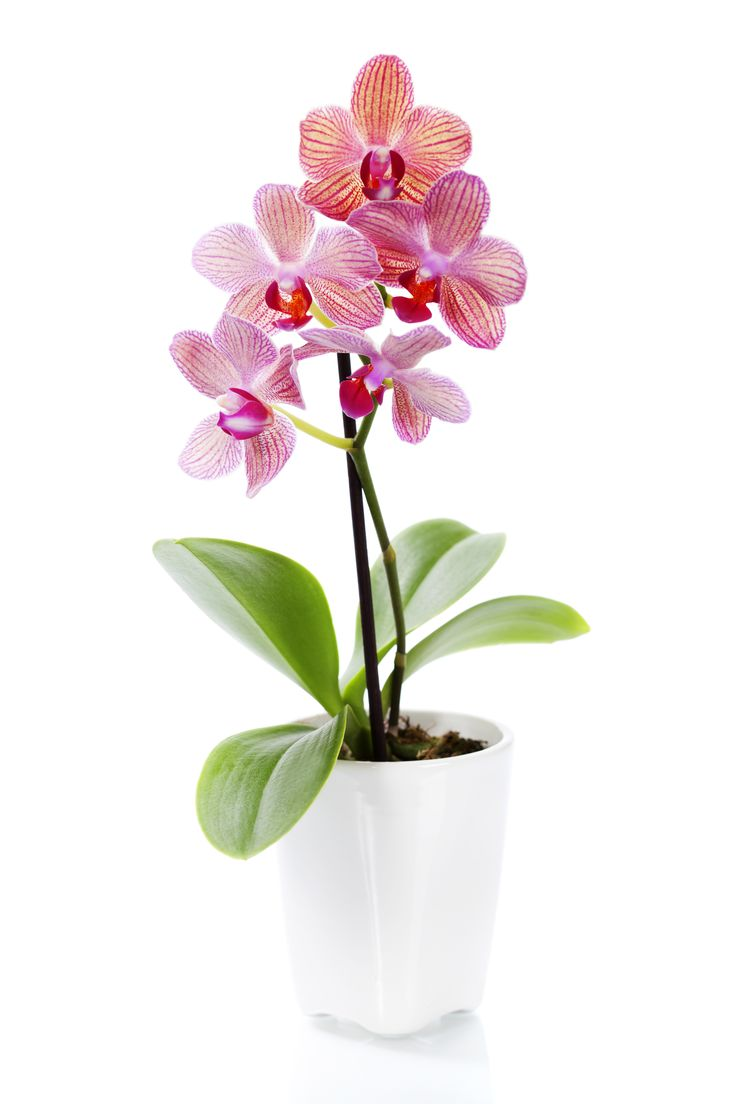 Silks pothos desk top plant in pot amp reviews wayfair - Orchids Google Search