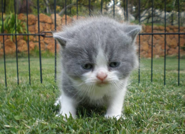 Scottish fold american short hair cat SCOTTISH FOLD AND