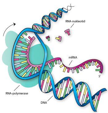 Transkription, hvor RNA-polymerase syntetitserer en mRNA-streng (lilla) ud fra de komplementære nukleotider i DNA'et.