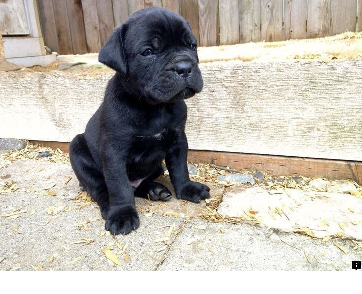 Want To Know More About Pugs For Sale Near Me Follow The Link To Read More Enjoy The Website Puppies Pug Puppies Cane Corso