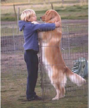 A golden retriever hug - what a beautiful coat