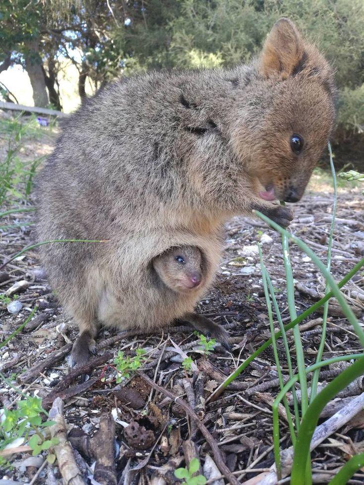 Quokka y su cria, un pequeño canguro del tamaño de un Gato