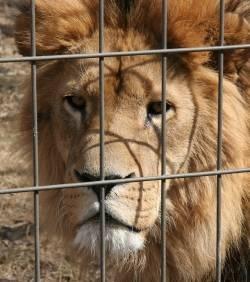 En Afrique du Sud, les lions sont élevés comme des animaux de ferme.  En Afrique du Sud, 60% des lions vivent en cage et sont élevés pour être revendus à des zoos ou relâchés juste avant d'être abattus par des chasseurs de trophées. Pour les exploitants, le lion est même un animal de ferme comme les autres.