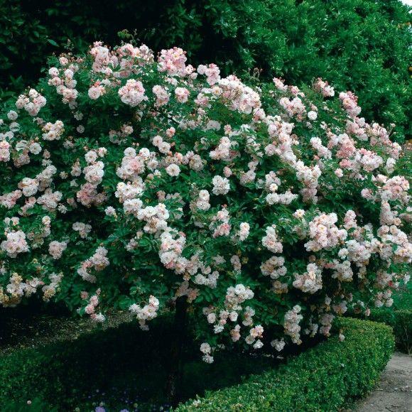 Les 25 meilleures id es de la cat gorie rosier buisson sur pinterest fleurs hybrides fleurs - Taille rosier buisson ...