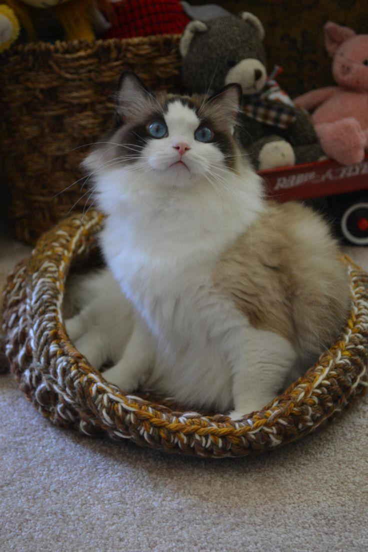 Birman Cats For Sale Toronto