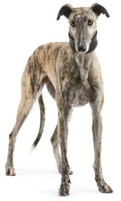 El galgo es una raza canina autóctona de España, por lo que también se le conoce como galgo español. Según la Real Academia de la Lengua Española, la palabra deriva del latín Gallĭcus canis, perro de la Galia.