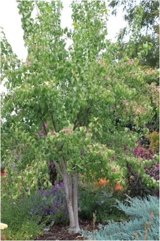 Oklahoma proven winterberry euonymus large shrub to for Unusual small trees