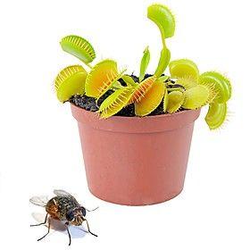 """Kit para Plantar una Planta Carnívora """"Venus atrapamoscas"""" (LO CONSEGUÍ EN SU DÍA Y AÚN LO TENGO ✓)"""