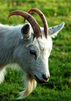 Timmy the Billy Goat - Country Living