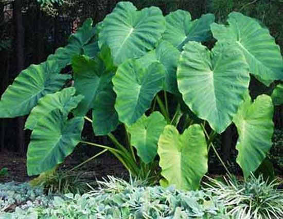 18 best plantas venenosas images on pinterest - Plantas venenosas de interior ...