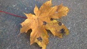Uppdrag 6D: NATURSPANARNA Hitta ett löv med prickar på! Vad är det? Är det någon, som har målat på bladet? Här får du svaren och hittar fakta: http://naturspanarna.se/bladeniskogenhosten-2/